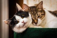 Zwei junge Katzen schwarz-weiß und Lüge der getigerten Katze zusammen lizenzfreies stockbild