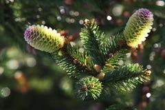 Zwei Junge-Kiefern-Kegel-Weihnachtsbaum in den Wassertröpfchen Stockbild