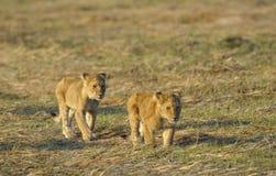 Zwei junge Löwen. Stockfoto