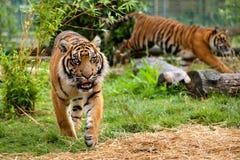 Zwei junge laufende und spielende Sumatran Tiger Lizenzfreies Stockfoto