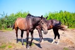 Zwei junge Pferde auf Hintergrund der ländlichen Landschaft Lizenzfreie Stockfotografie