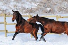 Zwei junge Pferde, die auf dem Schneefeld spielen Stockbild