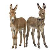 Zwei Junge Provence-Eselfohlen lokalisiert auf Weiß Stockbild