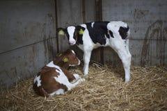 Zwei junge rote und schwarze calfs im Stroh der Scheune Stockfotografie