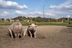 Zwei junge Schweine nebeneinander, eins gesehen von der Rückseite und das andere Sitzen, aus den Sandgrund lizenzfreie stockfotos