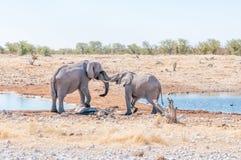 Zwei junge Stiere des afrikanischen Elefanten in einem Scheinkampf Lizenzfreies Stockbild
