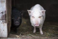 Zwei junge vietnamesische Schweine Stockfotos
