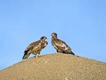 Zwei Junge Weißkopfseeadler Lizenzfreie Stockbilder