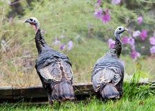 Zwei junge wilde Truthähne Lizenzfreie Stockfotografie