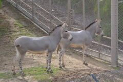 Zwei junge Zebras stockfotografie