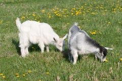 Zwei junge Ziegen Stockbild