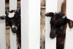 Zwei junge Ziegen Stockfotografie