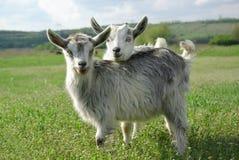Zwei junge Ziegen auf einer grünen Wiese Stockbild