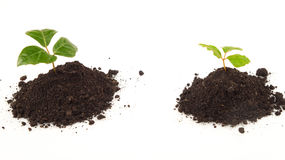 Zwei Jungpflanzen mit grünen Blättern auf Boden Stockfoto