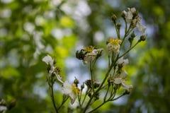 Zwei Käfer auf der Blüte von einem wilden stiegen Stockfotografie