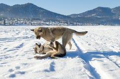 Zwei kämpfende Hunde Stockbilder