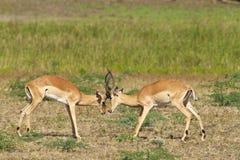 Zwei kämpfende Impalas Stockbild