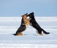 Zwei kämpfende Schäferhunde Stockbild