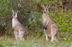 Zwei Kängurus im wilden Stockbild