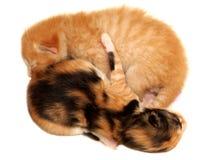 Zwei Kätzchen, die auf weißem Hintergrund liegen stockfotos