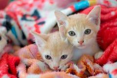 Zwei Kätzchen entzückend auf Decke lizenzfreie stockfotos