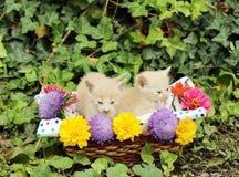 Zwei Kätzchen im Weidenkorb Stockbilder