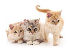 Zwei Kätzchen mit einer Katze Lizenzfreie Stockbilder