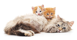 Zwei Kätzchen mit einer Katze Lizenzfreies Stockfoto