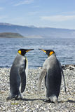 Zwei König pinguins nähern sich Meer Stockfotografie