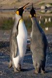Zwei Königpinguine, die an St- Andrew` s plaudern, bellen in Süd-Georgia stockbild