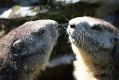 Zwei Köpfe der Murmeltiere vertraulich Stockfotos