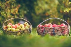 Zwei Körbe von Äpfeln Stockfoto