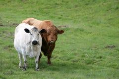 Zwei Kühe Lizenzfreie Stockfotografie