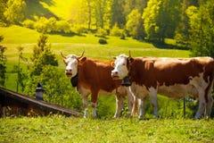Zwei Kühe auf dem Feld Lizenzfreies Stockfoto