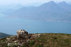 Zwei Kühe auf dem See Stockbild