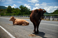 Zwei Kühe auf der Straße Lizenzfreies Stockfoto