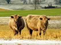 Zwei Kühe auf einem Gebiet Stockfotografie