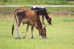 Zwei Kühe auf grüner Rasenfläche Stockbilder