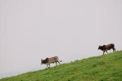 Zwei Kühe auf moutain Lizenzfreie Stockfotos
