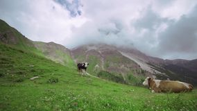 Zwei Kühe, die auf dem grünen Gras mitten in dem Hochgebirge mit den Wolken berühren die Spitzen der Felsen liegen stock footage