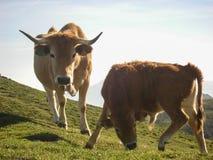 Zwei Kühe, die auf den Kantabrien-Bergen weiden lassen Diese Tiere werden in die Freiheit gezüchtet, die auf natürliche Weiden ei stockfotografie