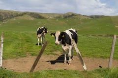 Mehrfache Kühe, die heraus auf einem grünen grasartigen Gebiet einen Bretterzaun im Vordergrund stehen Stockfoto