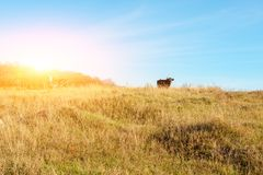 Zwei Kühe, die auf die Oberseite des Herbstes weiden lassen, neigen sich mit gelbem Gras von fern Lizenzfreies Stockbild