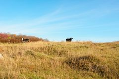 Zwei Kühe, die auf die Oberseite des Herbstes weiden lassen, neigen sich mit gelbem Gras von fern Lizenzfreie Stockbilder