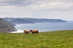 Zwei Kühe, die auf Weide nahe Seeküste weiden lassen Lizenzfreie Stockfotografie