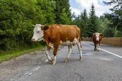 Zwei Kühe, die eine Straße kreuzen stockfotografie