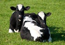 Zwei Kühe, die im Gras liegen Lizenzfreie Stockfotografie
