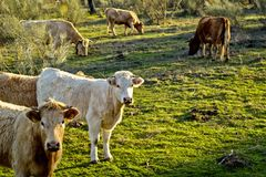 Zwei Kühe, die in Richtung der Kamera unter einer großen Gruppe blicken Stockfotos
