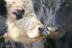 Zwei Kühe, die Wekzeugspritzen berühren Stockbilder