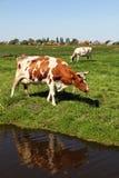Zwei Kühe in einer Wiese Stockfotos